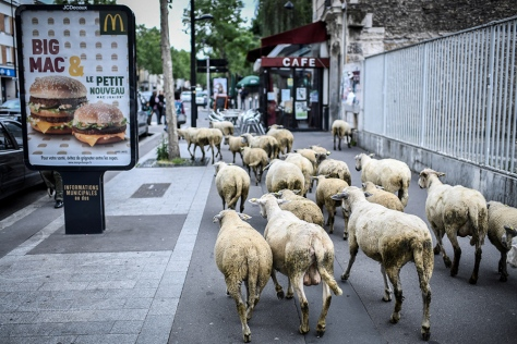 FRANCE-AGRICULTURE-FARMING-CITY-SHEEP